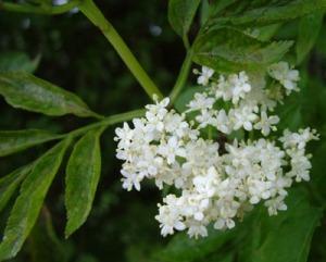 elder-blossom.jpg